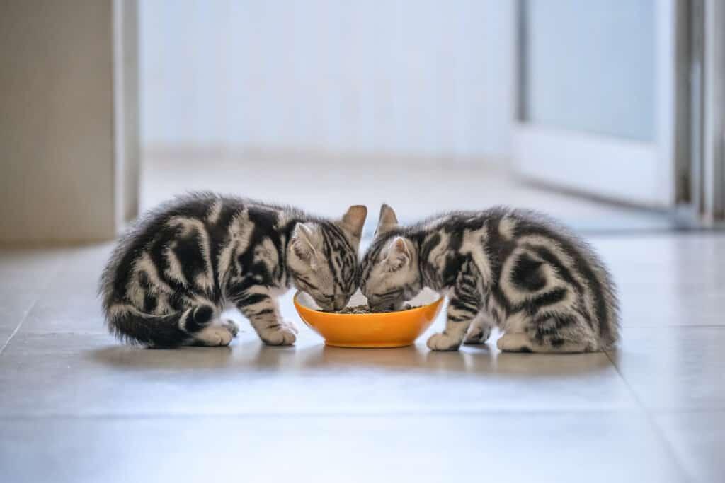 twee kitten bij voerbak
